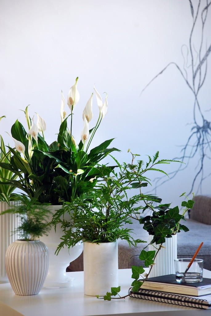 Spathiphyllum3_Hedera