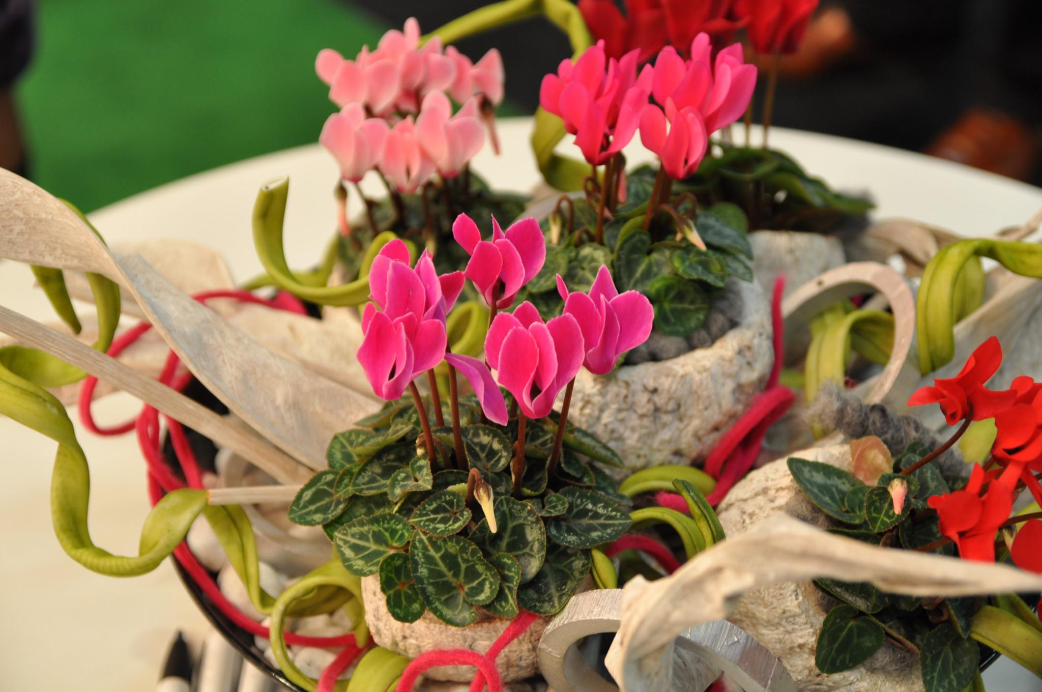 Juleblomster - Alpefiol