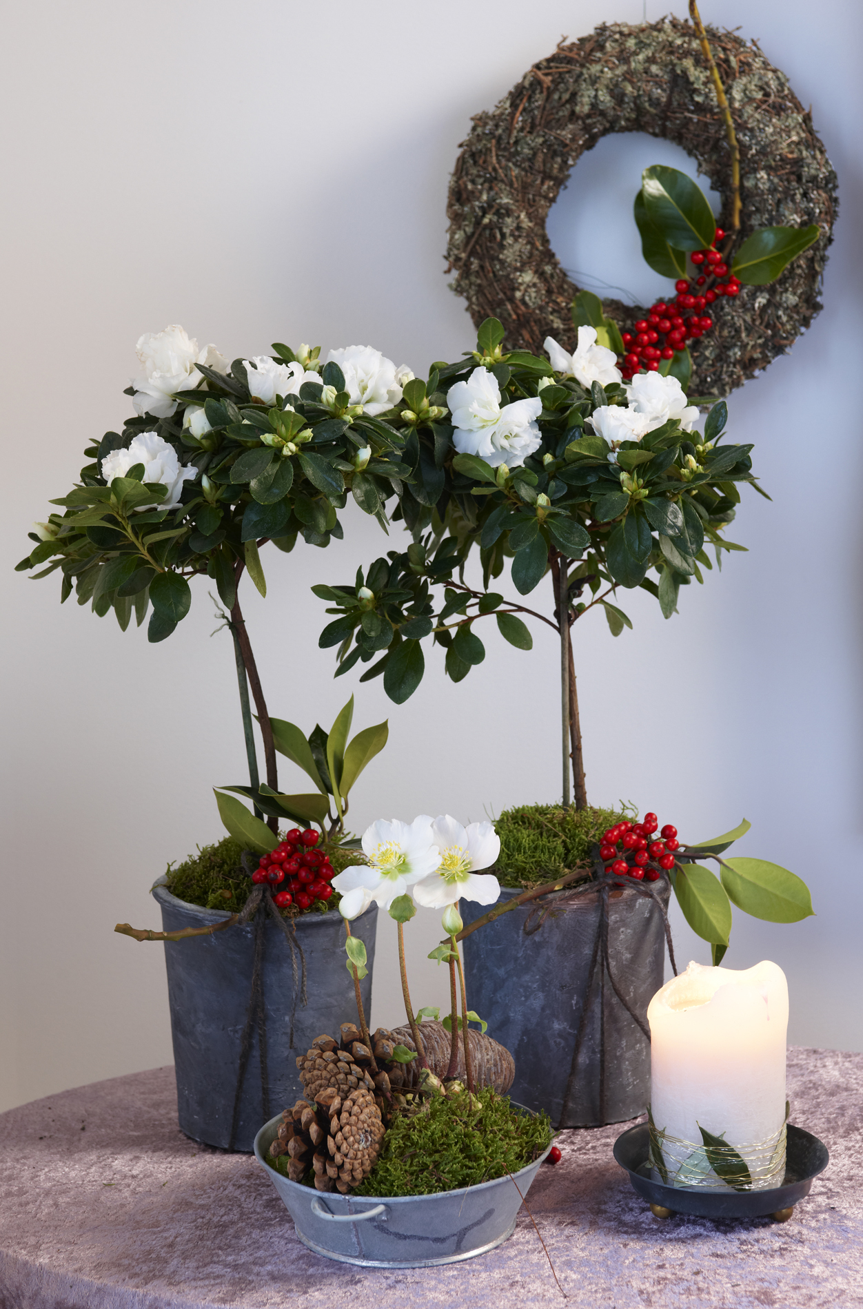 Juleblomster - asalea og julerose