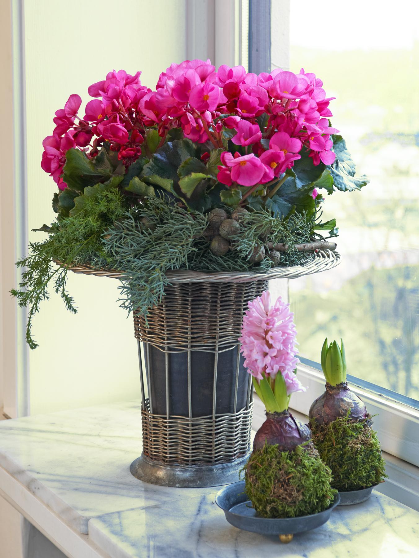 Juleblomster - begonia