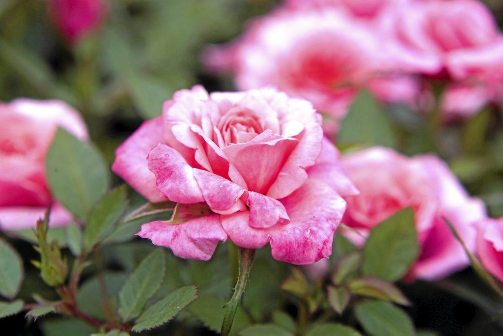 Her er hageguruens 8 tips som gir sunne og sterke roser. Det er med roser som med mennesker, med næringsrik mat og nok drikke, vokser man seg sunn og sterk!