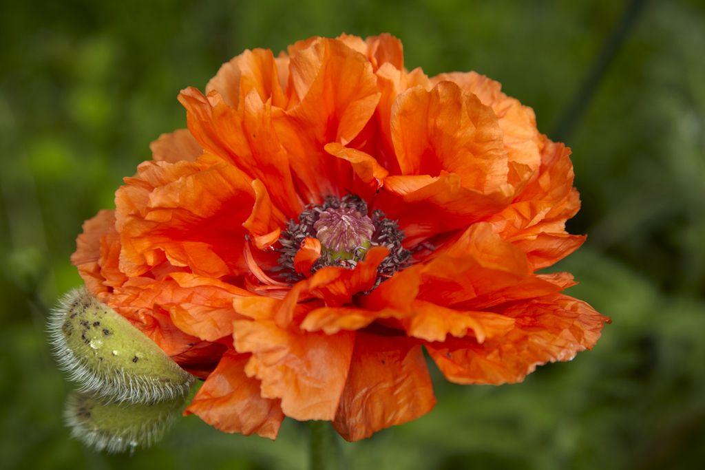 Frisk farge: Denne nydelige, oransje blomsten er en Papaver Orientale, orientvalmue.