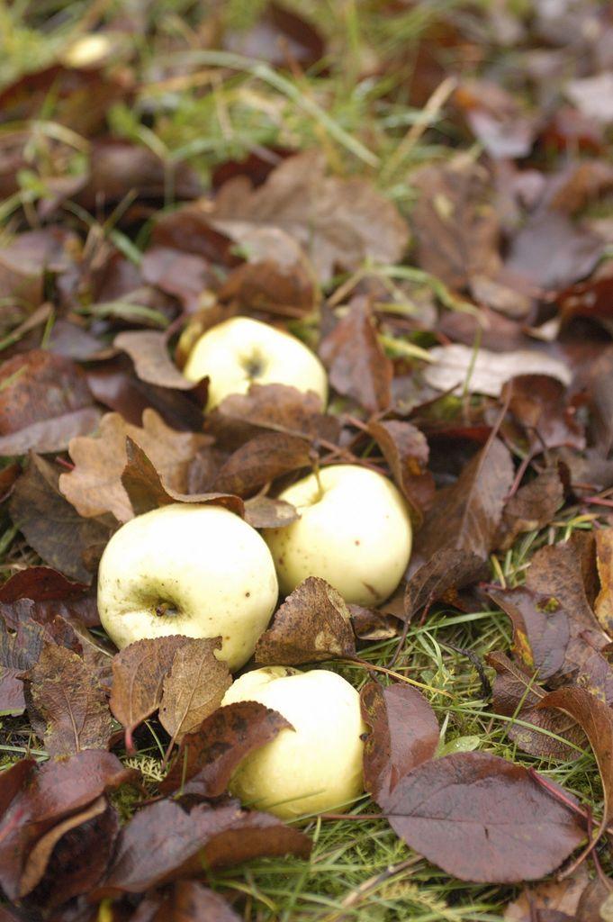 Naturlig vakkert. Eplene faller på bakken, men mange av hagens frukter blir hengende og pynter opp utover høsten.