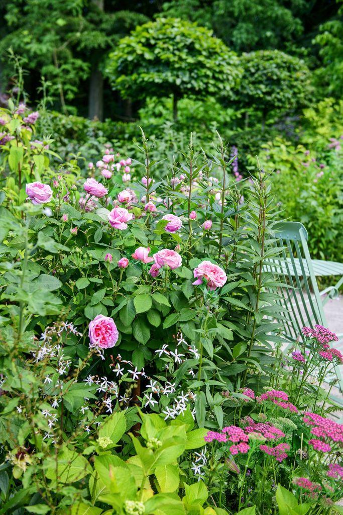 Rosen Comte de Chambord er en historisk rose som dufter deilig – og i tillegg er den remonterende. Romantisk hage.