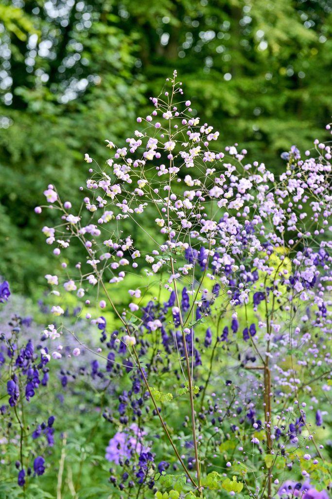 Claus Dalbys romantiske hage, blomster og roser. Fiolfrøstjerne, Thalictrum, Splendide, er brukt mange steder. Den litt lavere stauden med blå blomster er stormhatt, Aconitum henryi, Spark's Variety.