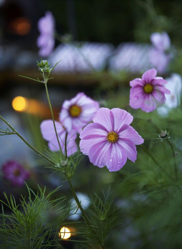 Pyntekorger (Cosmos) er blant hagens høyreiste fargeklatter.
