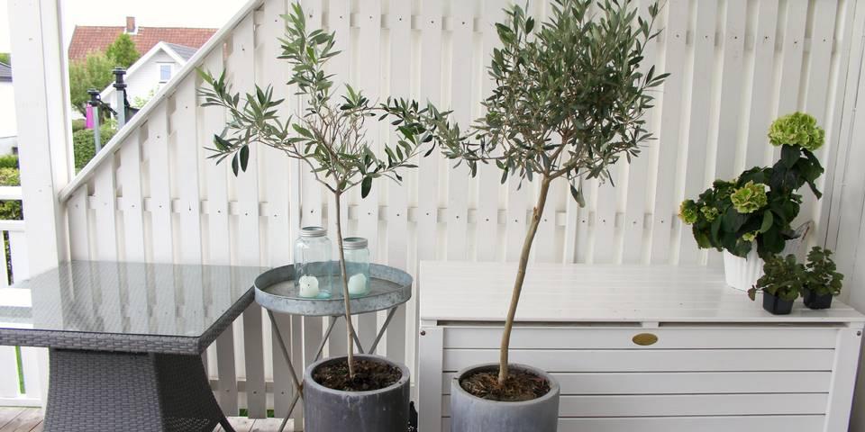 Hva slags stell krever et oliventre? Hvordan kan du få det til å overleve vinteren? Her er ekspertenes tips.