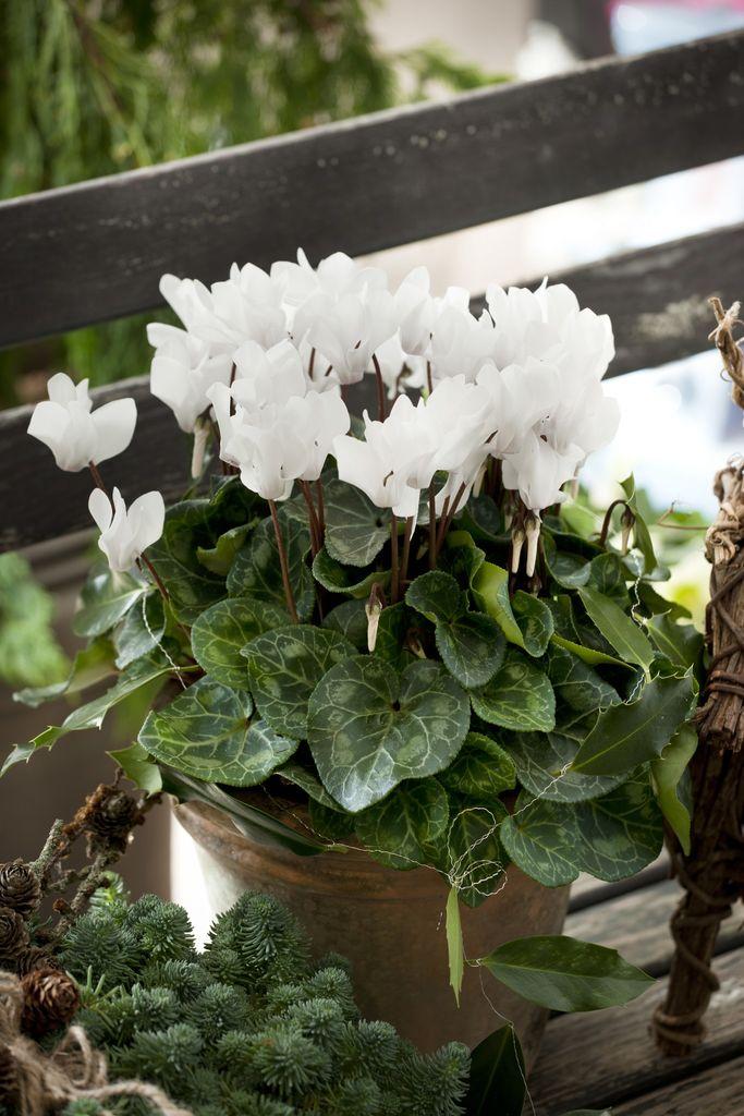 Alpefiol er en populær plante som, men som mange synes er litt vanskelig å få til. Her får du tipsene som gjør at alpefiolen trives.