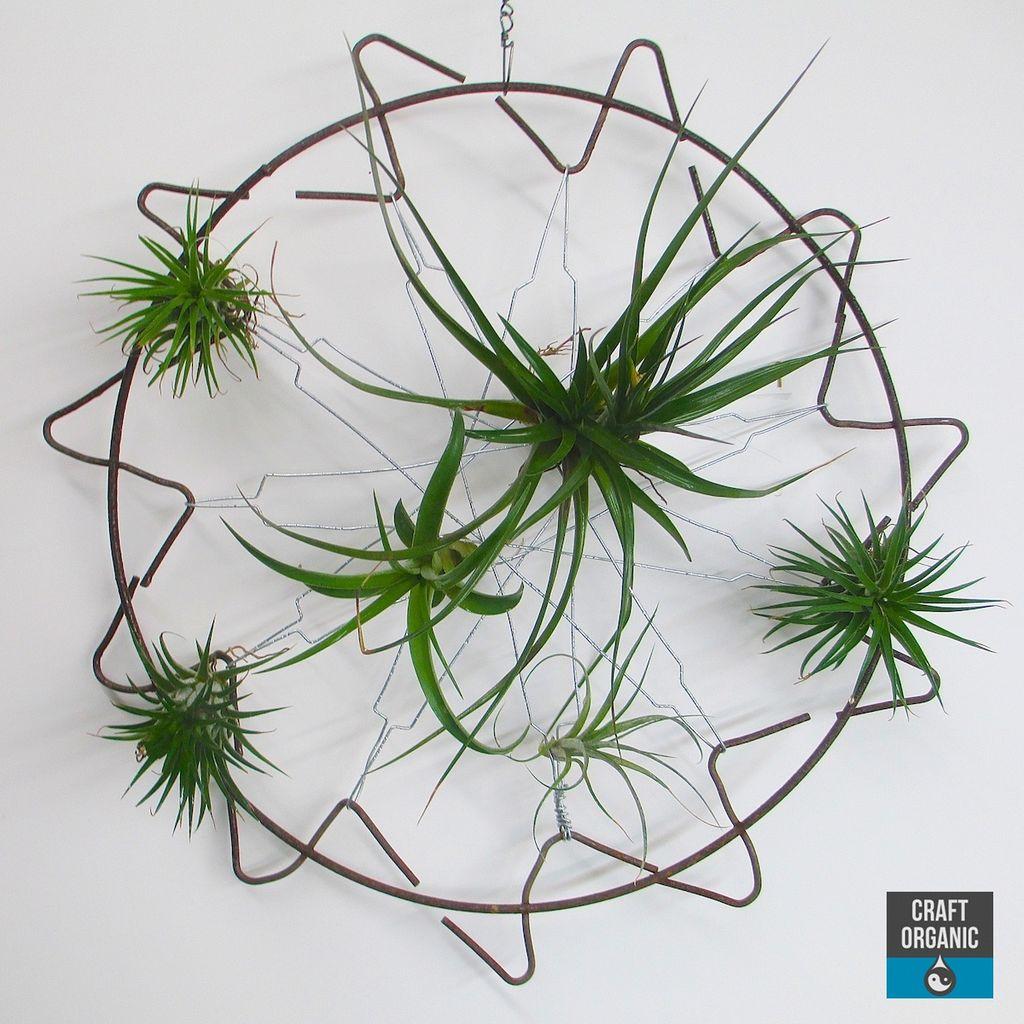 Luftplanter er lette å få til å trives i hjemmet ditt. Ikke skal de ha jord, og vann behøver de sjelden. Legg dem rett på bordet, eller heng dem i en snor.
