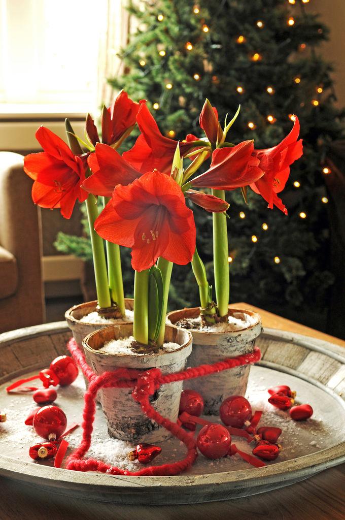Amaryllis er en nydelig juleblomst som er like fin som snittblomst som i potte.