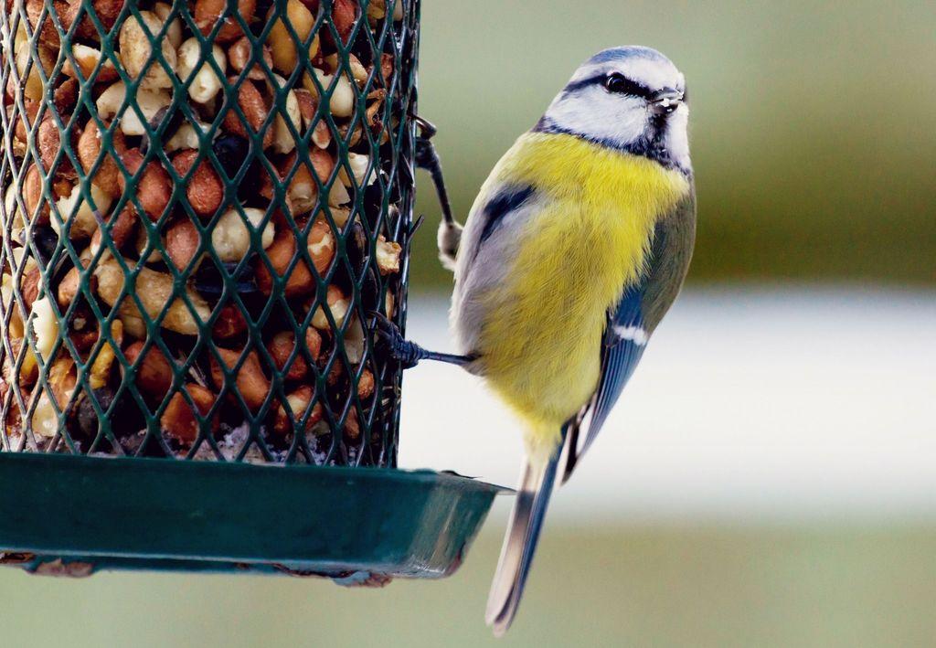 Å mate småfugler om vinteren er en fin opplevelse.