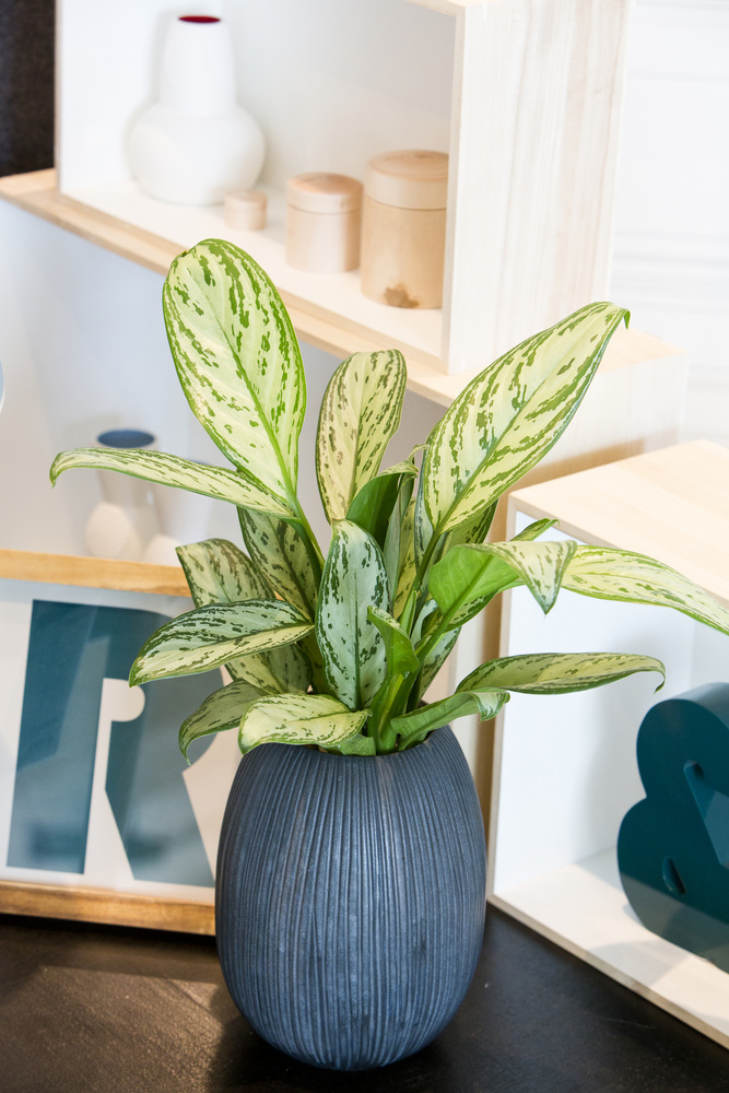 Sjømannstrøst har dekorative markeringer på bladene som gjør den verdifull som stueplante. Foto: floradania.dk