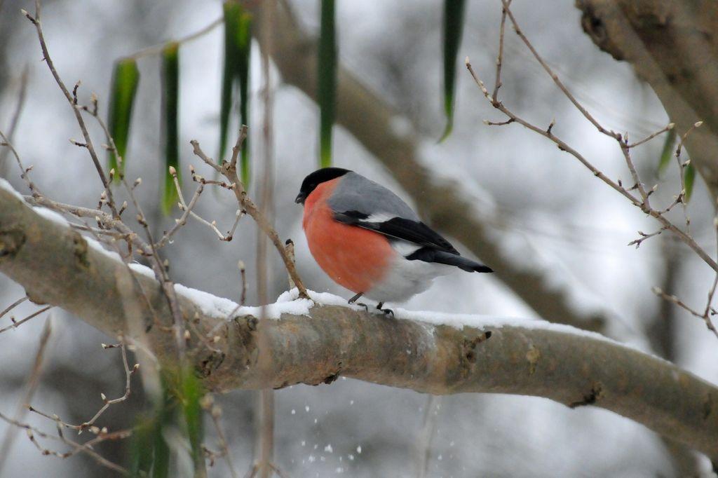Dompap er en kjærkommen gjest på fuglebrettet eller meisebollen.