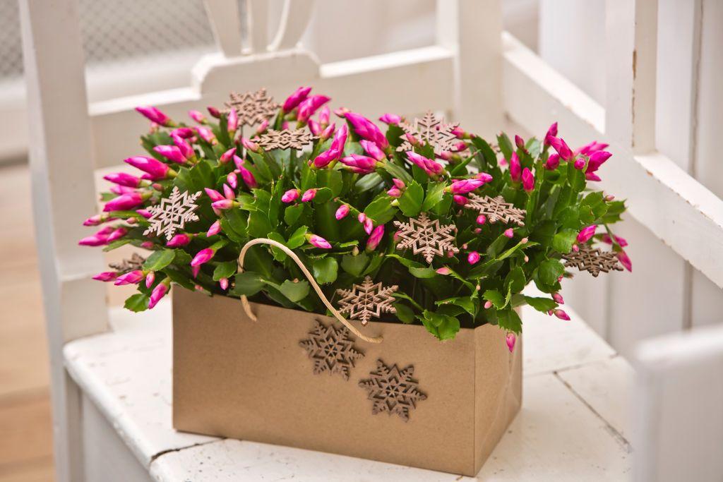 Mange tror novemberkaktus og julekaktus er det samme, men det er det ikke. Her kan du lese om forskjellen, og hvordan du skal stelle dem og få dem i blomst.