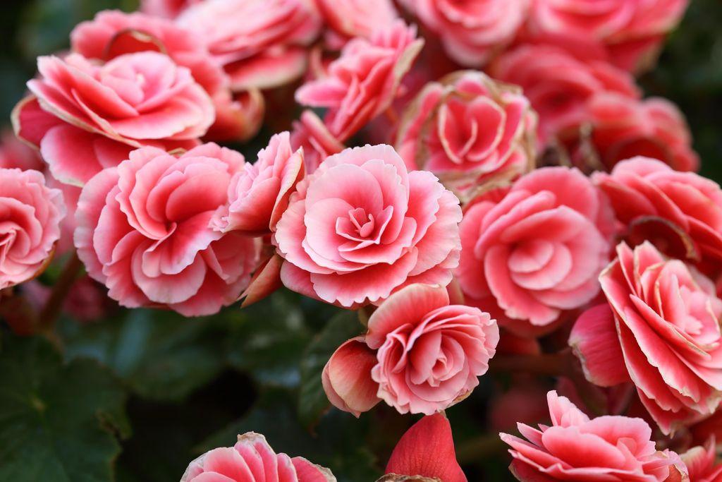 Begonia kan brukes som fargerik juleblomst