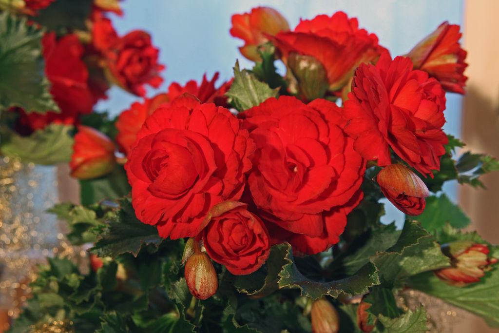 En av landets mestselgende juleblomster er en tropisk blomst som kommer i mange farger. De mest vanlige fargene på denne juleblomsten er kanskje rød eller hvit.