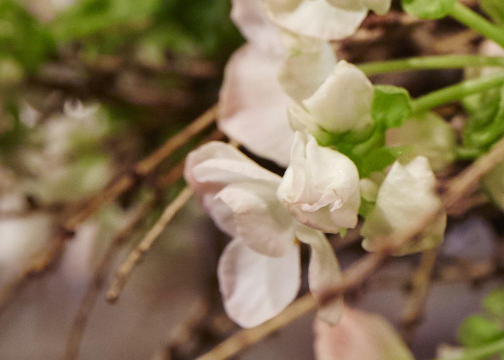 Gjettet du riktig? Begonia kommer i mange farger. Hvit begonia er populært til jul. Foto: blomsterfrämjandet.se/Lisa Arvidsson
