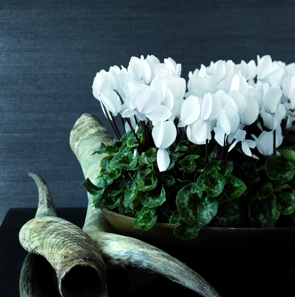 Hvite alpefioler er nydelig i kontrast til mørk potte og mørk bakgrunn. Foto:floradania.dk