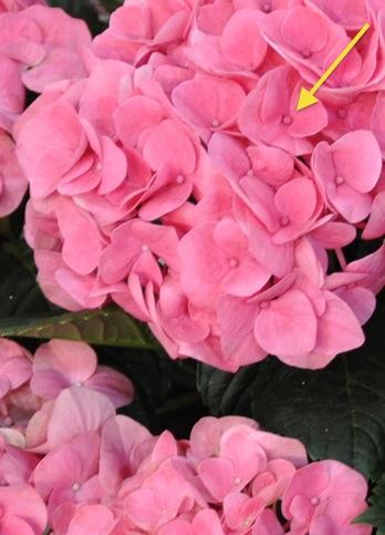 hortensia_hydrangea_macrophylla38_edited-1 2
