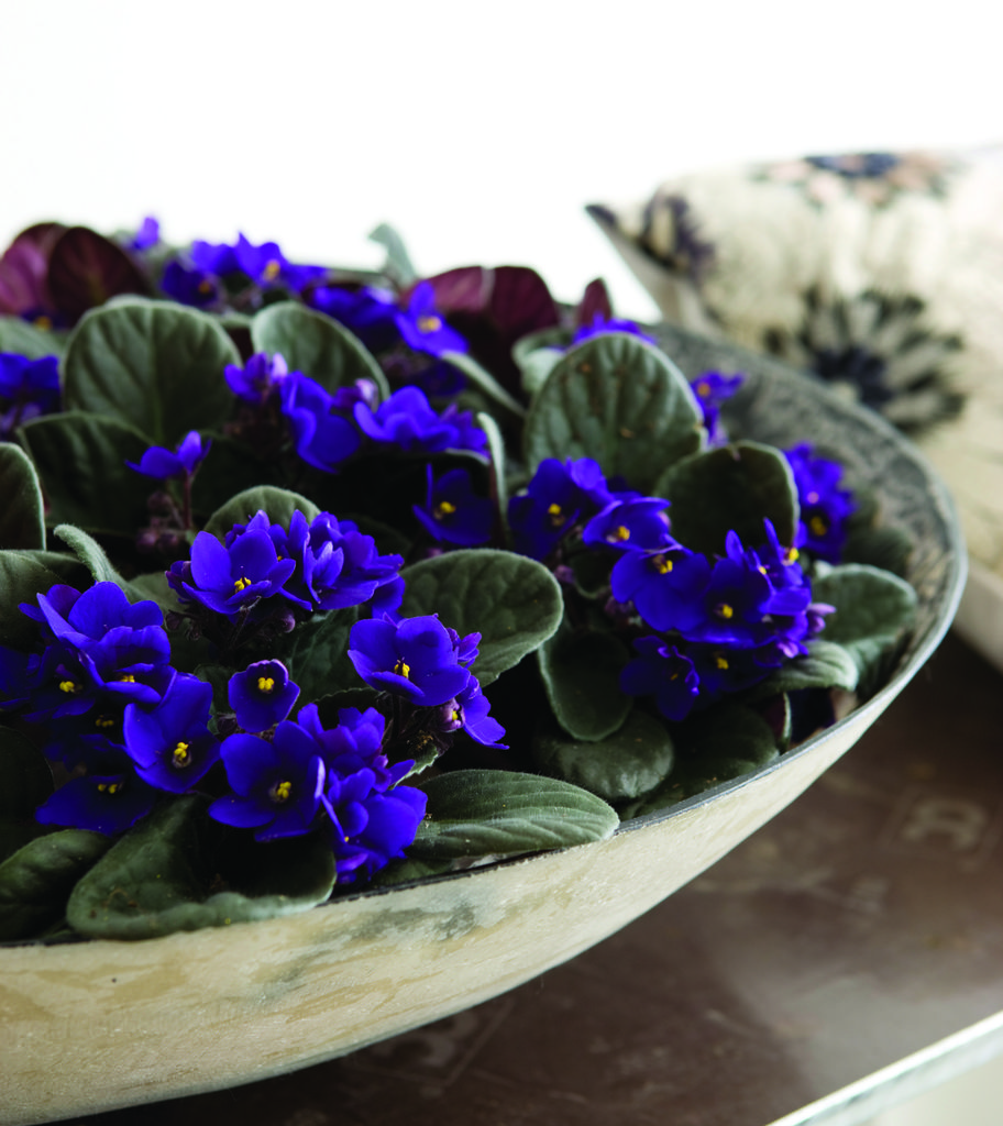 saintpaulia floradania