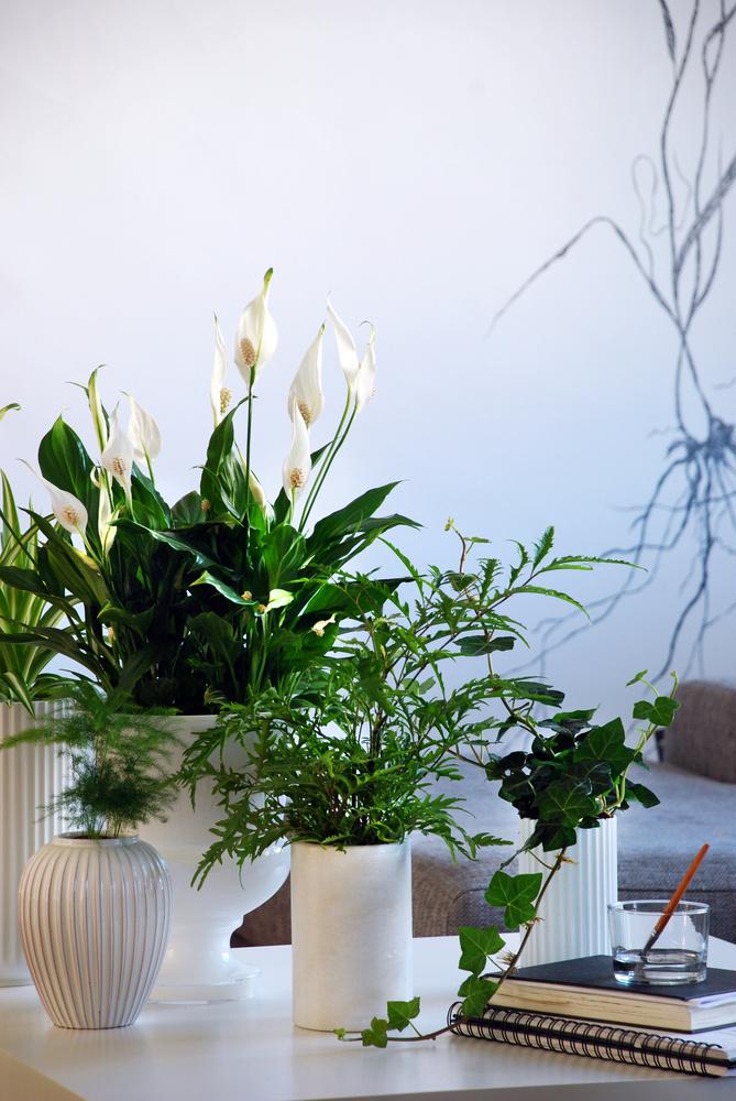 Fredslilje med sine store hvite blomster er populær også fordi den er så enkel å ha med å gjøre. Plant gjerne sammen i grupper, også på badet, for den frodige oase-følelsen. Foto: Floradania.dk
