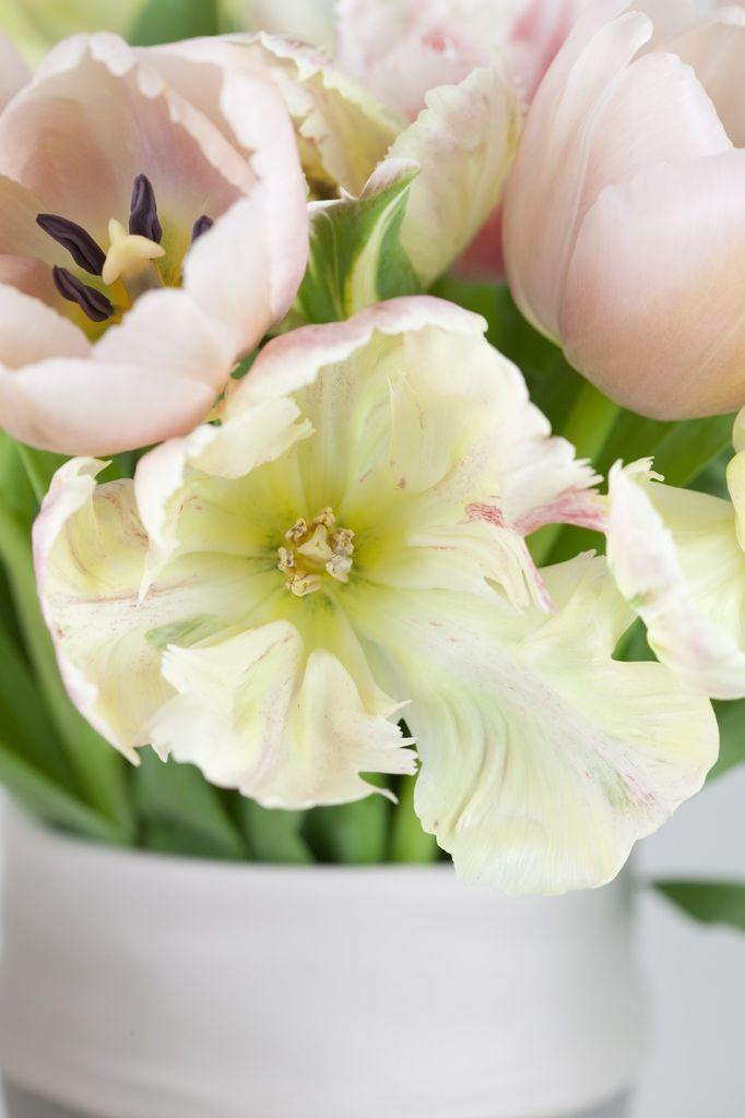 Tulipaner er Norges mest populære snittblomst.