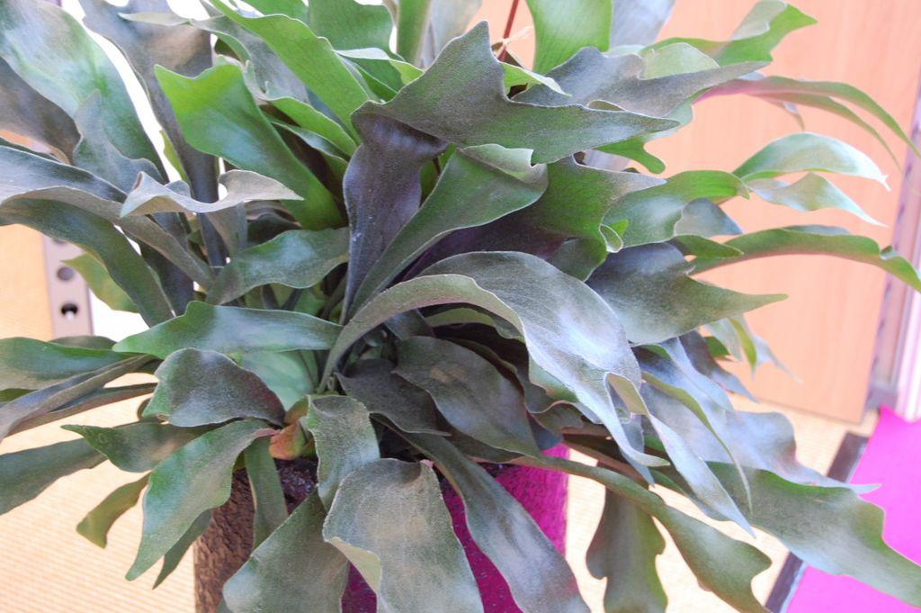 Denne tøffe planten gjør mye ut av seg og veldig dekorativ - og kanskje ikke så vanlig. Foto: Obp.no