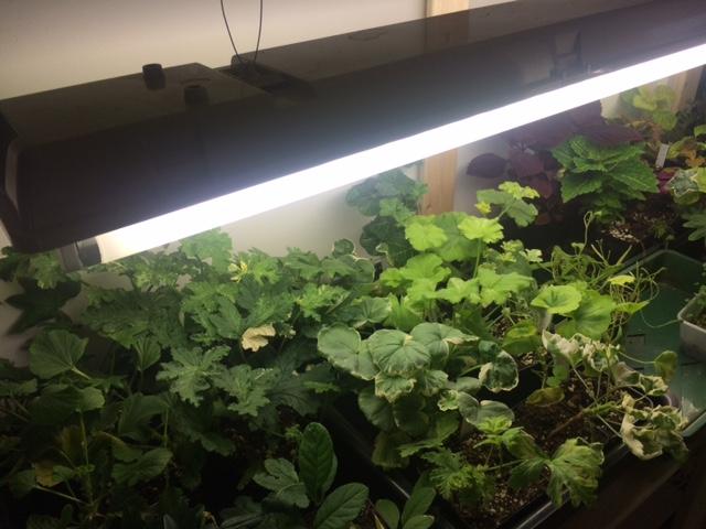 Skal du så inne eller overvintre planter, trenger du plantelys. Dette bør du vite før du setter i gang.