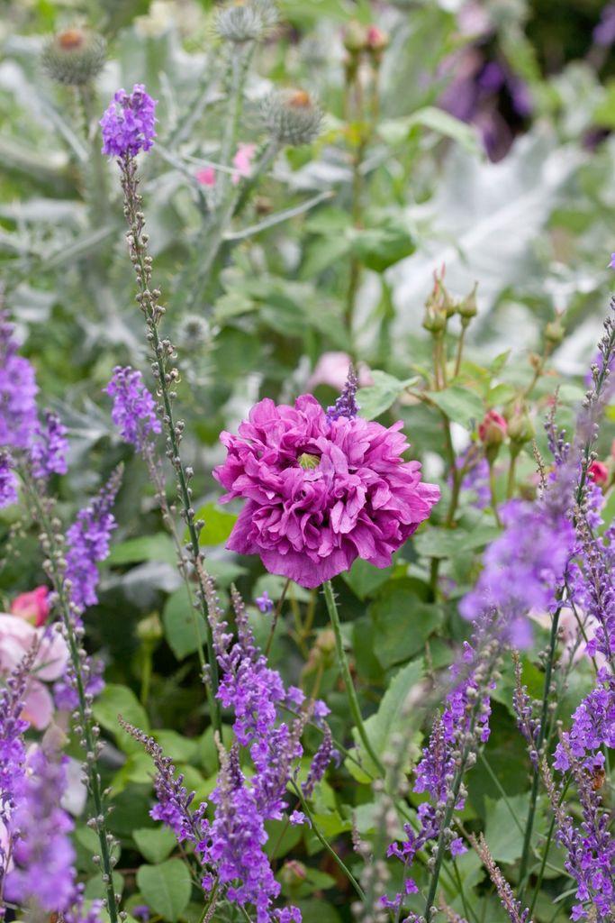 Fem sikre sommerblomster du kan så direkte på vokseplassen.