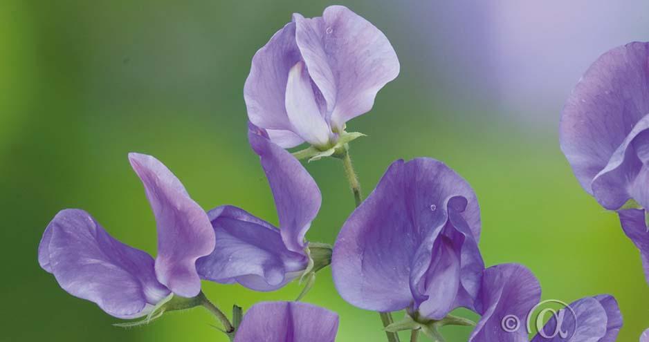 Mange av de nye og fargesterke sommerblomstene mangler duft. Disse fem nydelige blomstene dufter garantert deilig!