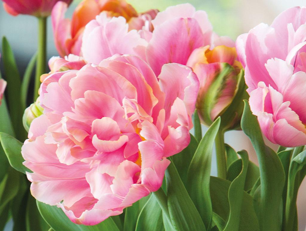 Tulipaner er den mest populære snittblomsten i Norge.