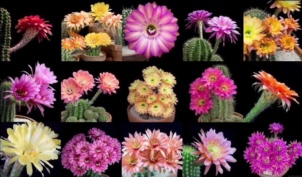 mange cacti