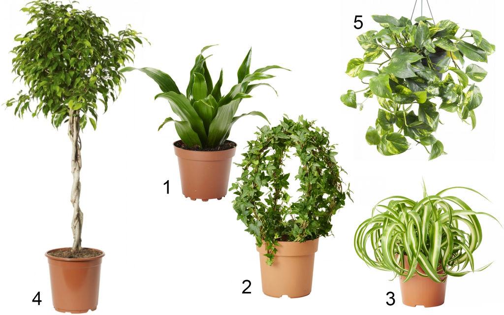 Fem gode grønne luftrensere. Disse er spesielt effektive til å rense lufta inne.
