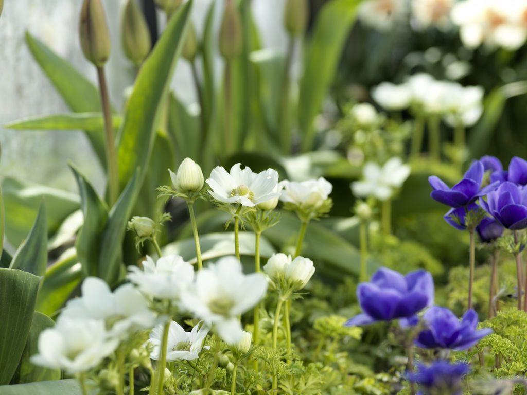 Nydelige løkplanter du kan ha i krukke innendørs - for så å plante dem ut i hagen når frosten går.
