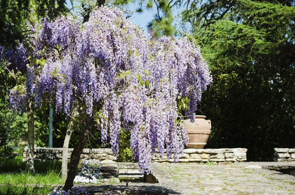 Blåregn, Wisteria H2-H3, er en plante vi gjerne skulle ønske oss, men det er svært få steder den klarer å overleve vinteren. Vil du allikevel prøve denne, kan den plantes i en stor urne som settes inn i en kjeller, eller dyrke den i vinterstue.Foto: Colourbox