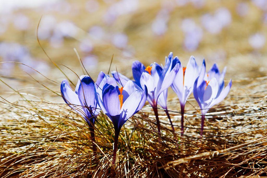 Snart kommer krokusen krypende opp - men, mens vi venter på våren, er det en hel del ting vi kan gjøre for hagen. Foto: Colourbox