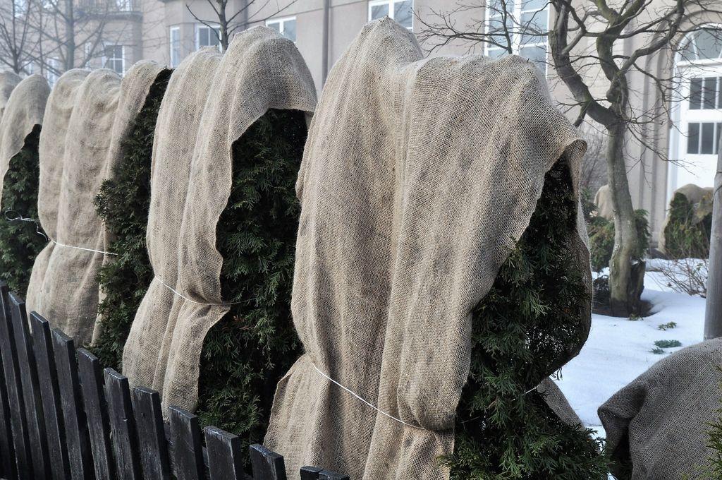 Slik kan du gjøre det. Brett over strie og bind rundt med et tau. Fungerer ypperlig som solbeskyttelse for sårbare planter og trær.