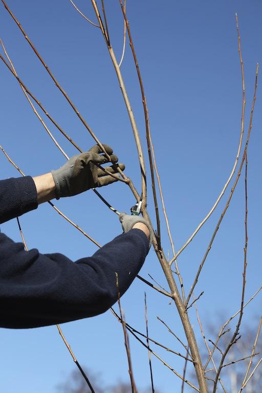 I mars er det tid for beskjæring av mange busker og trær. Foto: Kenneth Ingebretsen/gardenliving.no