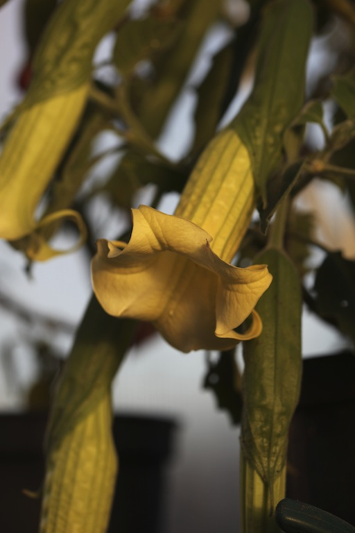 Mange drømmer om å ha engletrompeter i hagen med sine store hengende klokker og en nydelig duft som sprer seg rundt i hagen på kvelden...