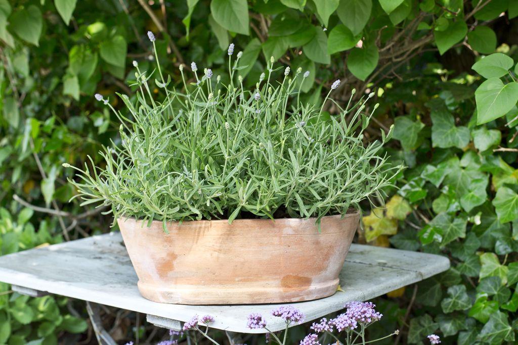 Lavendel, Lavandula augustifolia H4, men er en plante som kan overvintre helt opp i sone H6, alt etter hvordan mikroklimaet er akkurat der planten vokser. Foto: Floradania