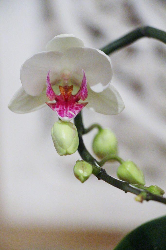 Orkide tips: Mister orkideen din blomsterknopper? Blir røttene tørre, eller vil den ikke blomstre igjen? Her er 7 grunner til at orkideen ikke trives.