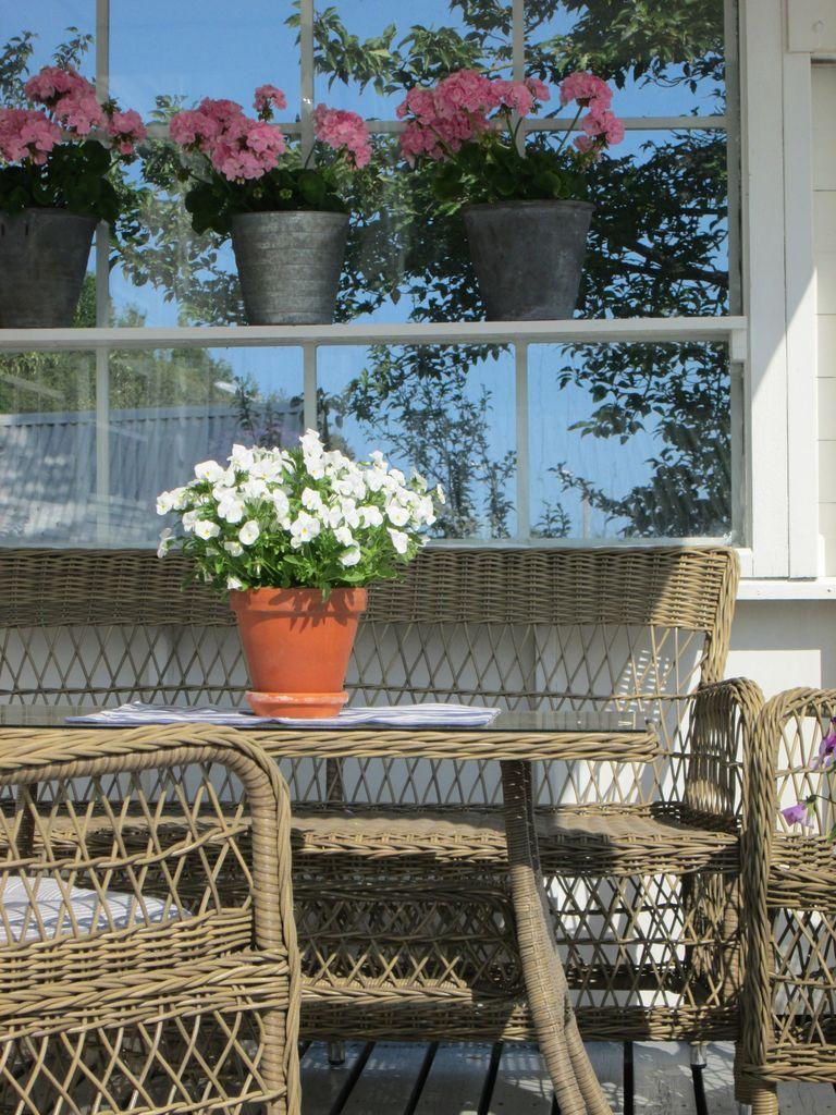 I dette innlegget finner du råd og tips til hvordan du kan stelle pelargoniene dine etter vinteren.