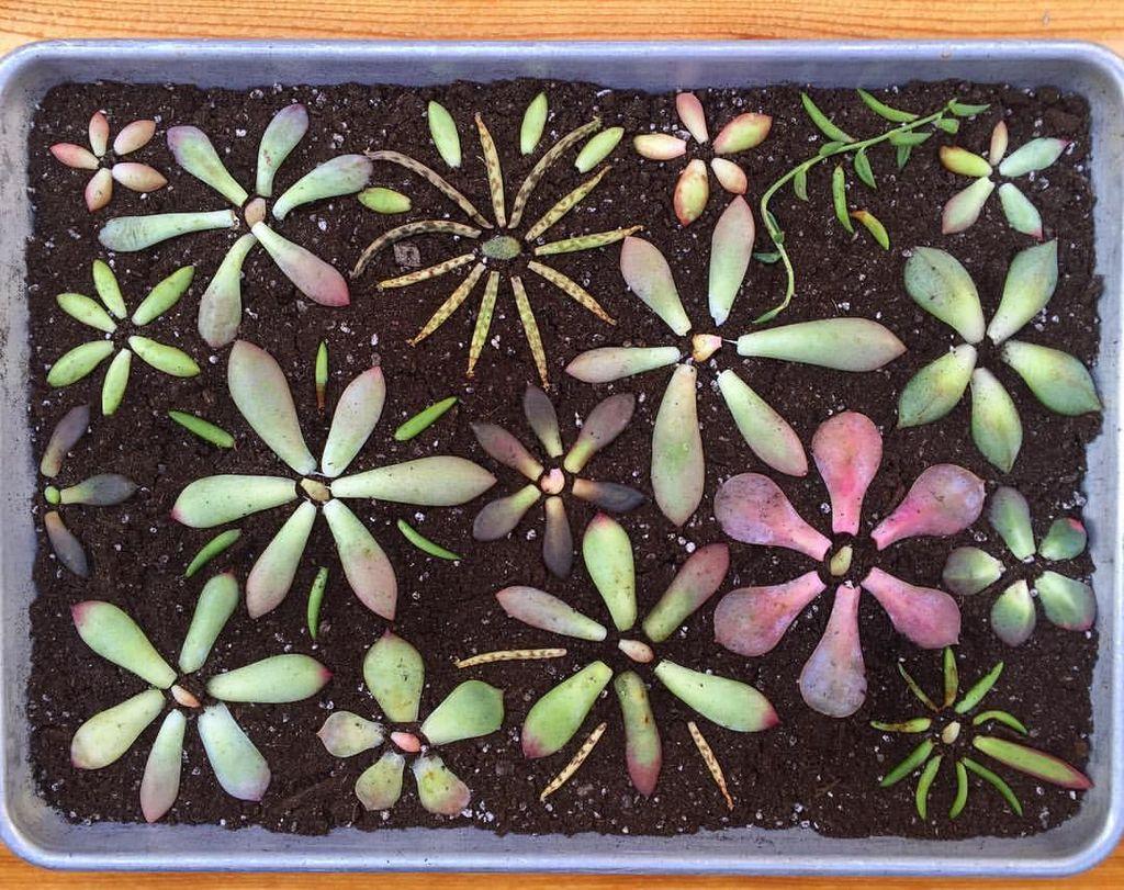 Å formere sukkulenter er ikke så vanskelig som det høres ut som. Prøv du også! Foto: Faksimile fra GardenAnswer/YoutTube