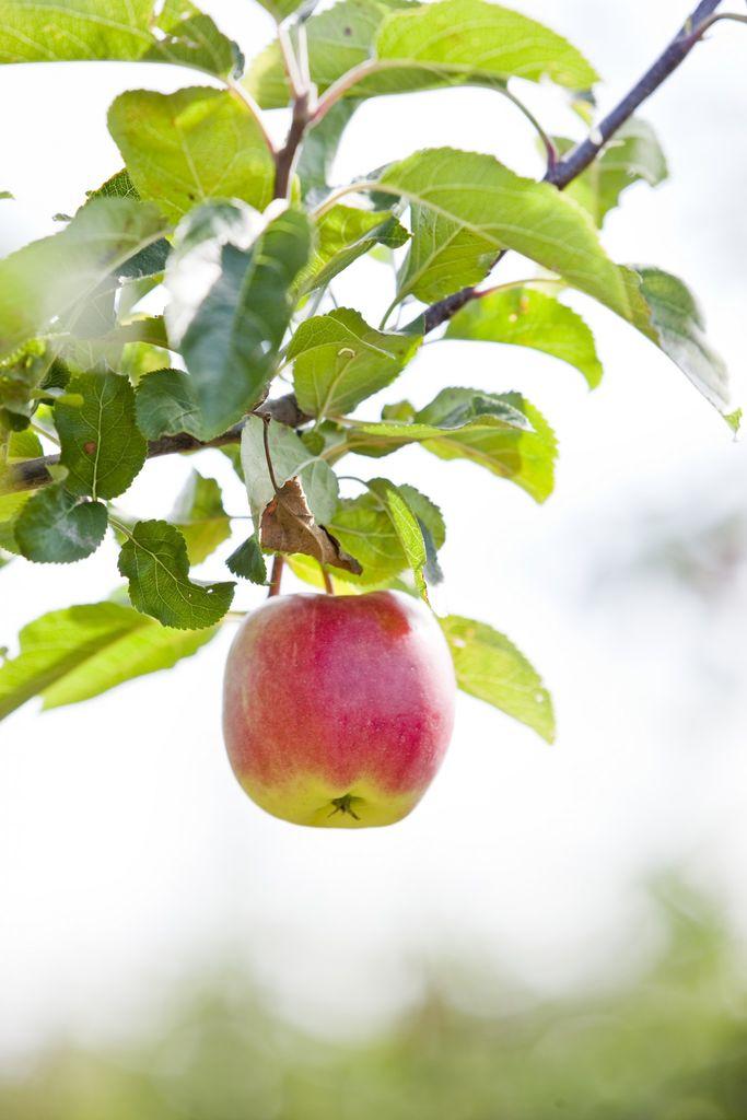 Med poding kan du få mange sorter på ett epletre, altså epler til forskjellige tider og med forskjellige farger på epletreet! Se guide til hvordan du gjør.