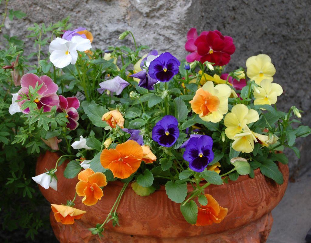 De tåler nattefrost ned mot – 5C°, kanskje litt til, og trives godt i krukker. Sjekk hvilke blomster du kan plante ut, selv om det er fare for nattefrost.
