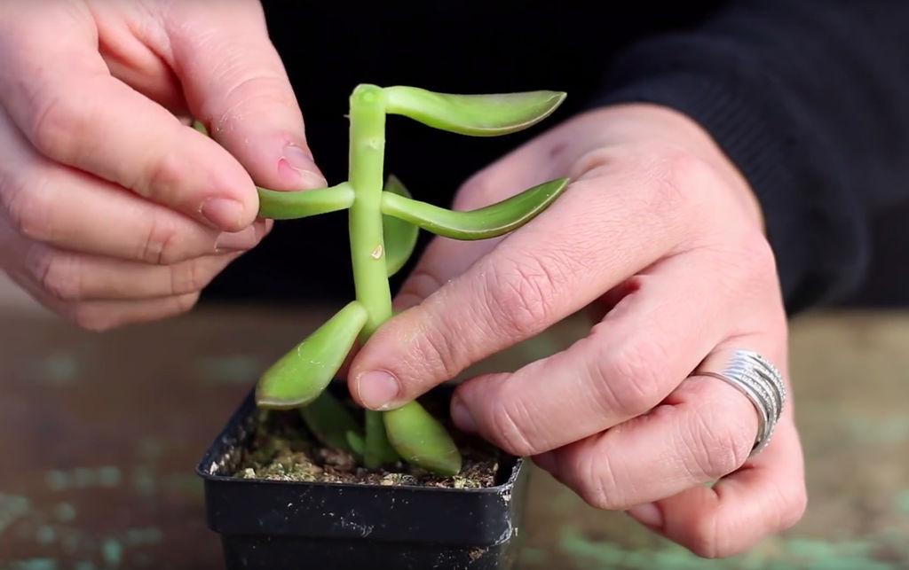 fjerne bladene -sukkulenter