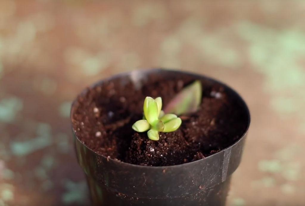 7. Plant baby-sukkulenten i potte. Det gamle bladet kan du fjerne - eller du kan la det være på til det faller av av seg selv.