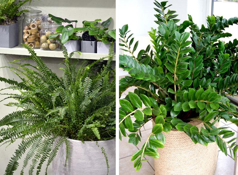 Bregner og blankblad er to gode planter som trives i et vindu vendt mot nord