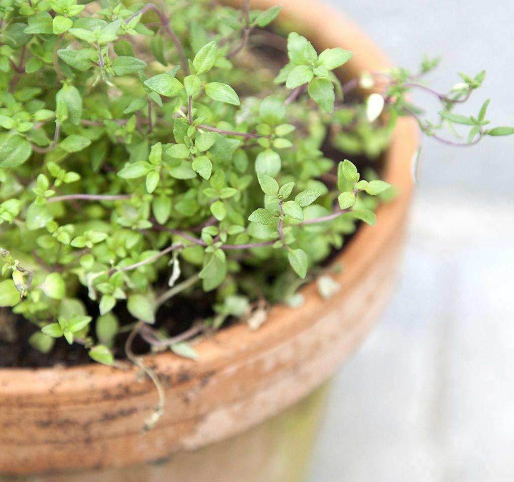 Disse plantene passer i en innendørs kjøkkenhage.