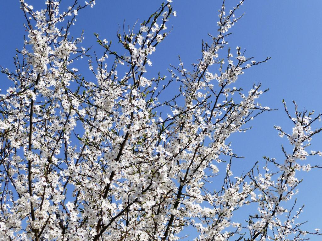 Blodplomme - Prunus cerasifera.